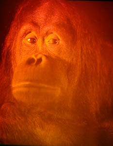 Picture of Chuckie the Orangutan