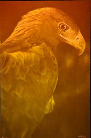 Picture of Icarus the Golden Eagle