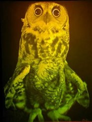 Picture of Ophelia the Great Horned Owl