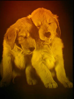 Picture of Golden Retriever Puppies